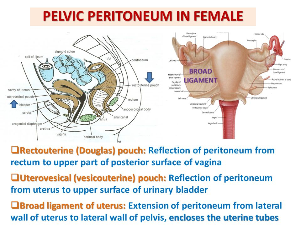 Female pelvic anatomy pictures