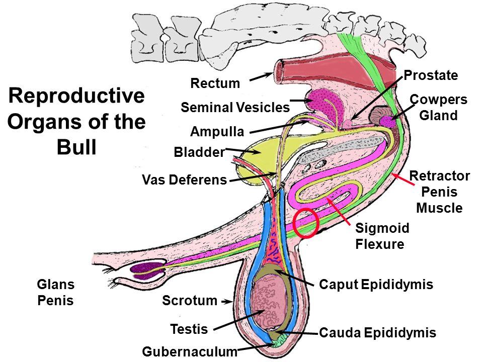 Cow reproductive anatomy