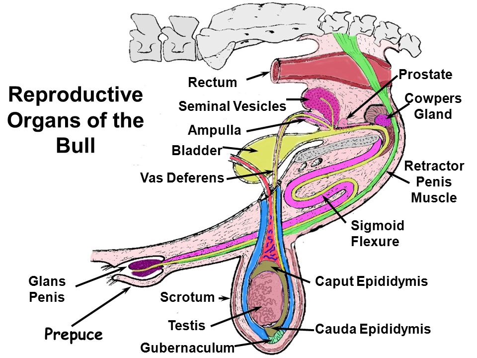 Lec 3 Male Reproductive Tract Anatomy Ppt Video Online