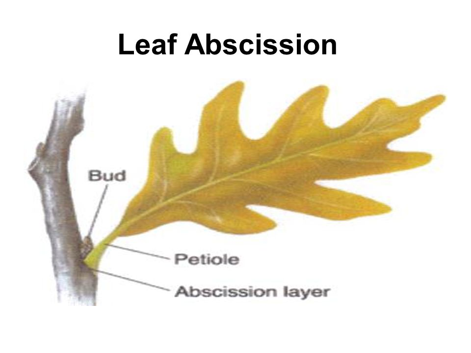 leaf abscission Excess nutrients in ecosystems may be altering deciduous tree phenological events by having delayed autumn leaf abscission, the length of the growing season may be extended, which could increase forest productivity.