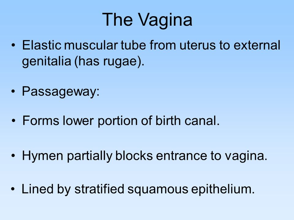 The Vagina Elastic muscular tube from uterus to external genitalia (has rugae). Passageway: Forms lower portion of birth canal.