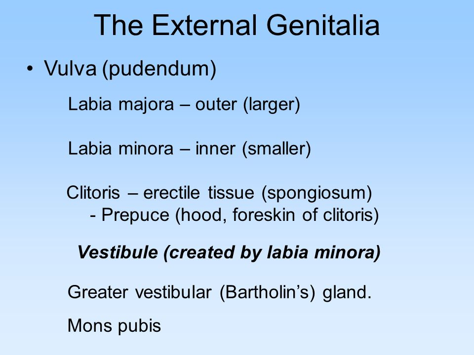The External Genitalia