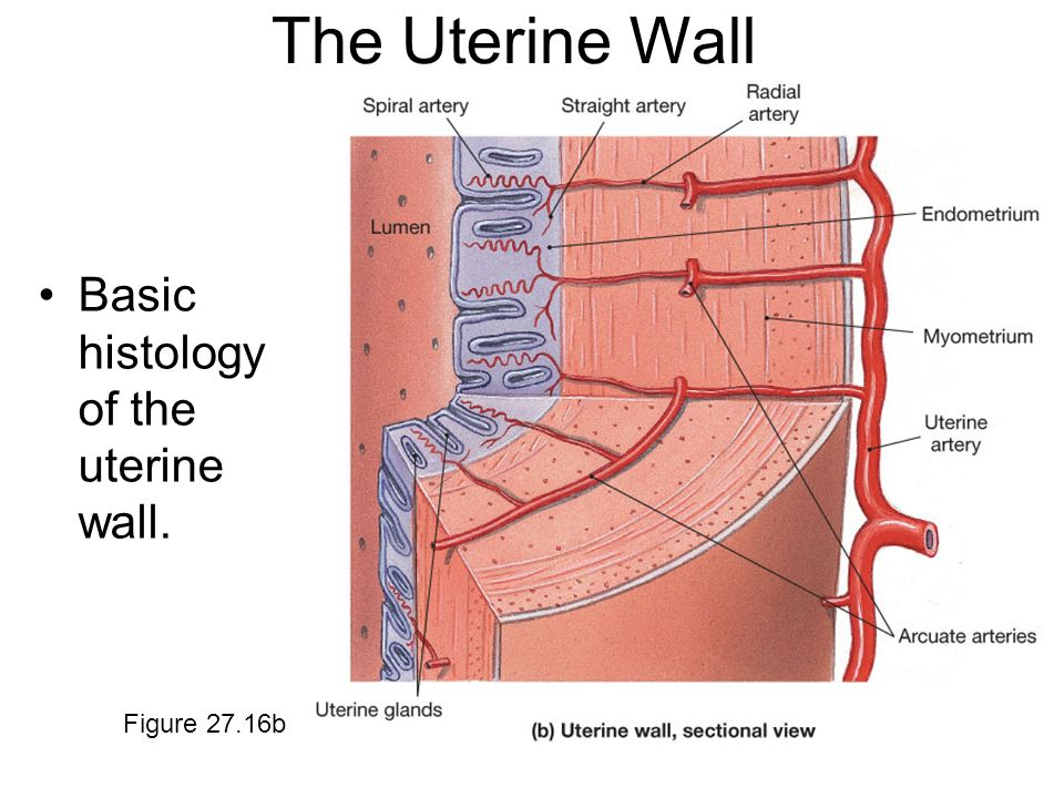 The Uterine Wall Basic histology of the uterine wall. Figure 27.16b