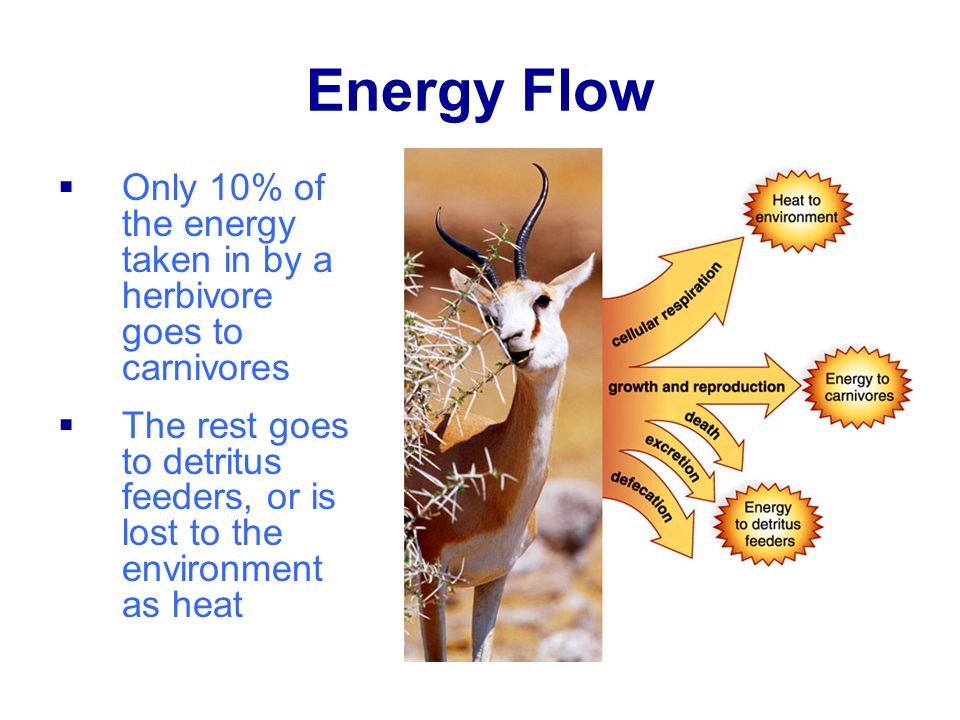 Energy Flow Only 10% of the energy taken in by a herbivore goes to carnivores.