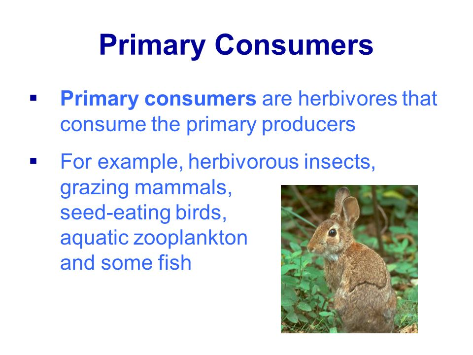 Primary Consumers Primary consumers are herbivores that consume the primary producers.