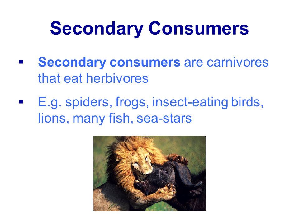 Secondary Consumers Secondary consumers are carnivores that eat herbivores.