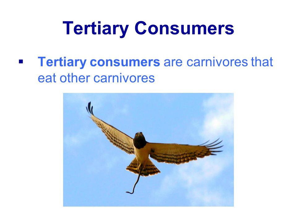 Tertiary Consumers Tertiary consumers are carnivores that eat other carnivores