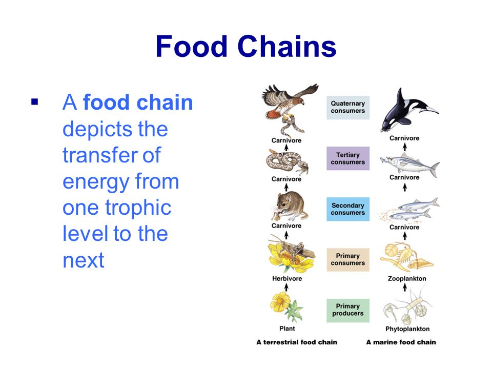 Food Chains A food chain depicts the transfer of energy from one trophic level to the next