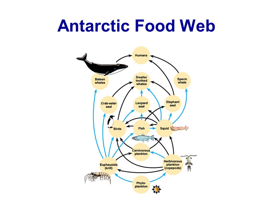 Antarctic Food Web