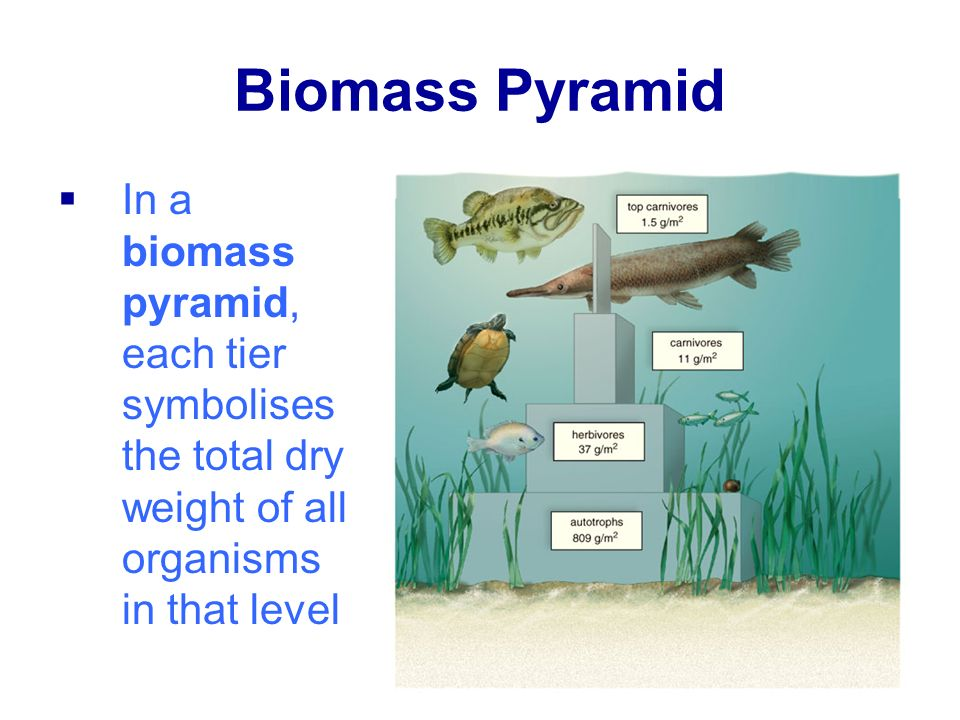 Biomass Pyramid In a biomass pyramid, each tier symbolises the total dry weight of all organisms in that level.