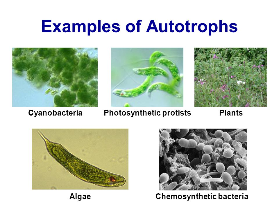 Autotroph Example] Autotroph Example Distinguish Between An ...