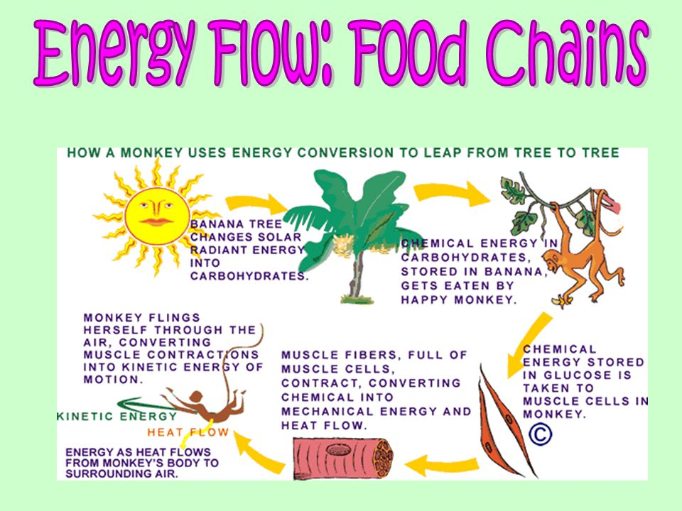 Energy Flow A Food Chains on Food Chain Energy Flow Through
