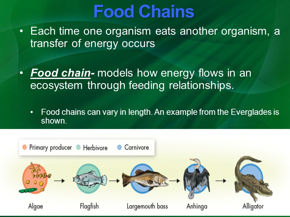100 energy flow in food chains worksheet calculating energy flow through an organism and. Black Bedroom Furniture Sets. Home Design Ideas