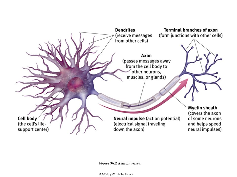 ap psych unit 3a neurons neurotransmitt Can you name the ap psych unit 3a vocab: nervous and endocrine systems see results from the ap psych unit 3a  encasing the fibers of many neurons.