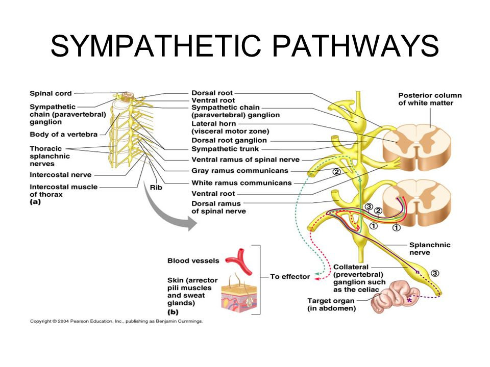 THE AUTONOMIC NERVOUS SYSTEM - ppt video online download
