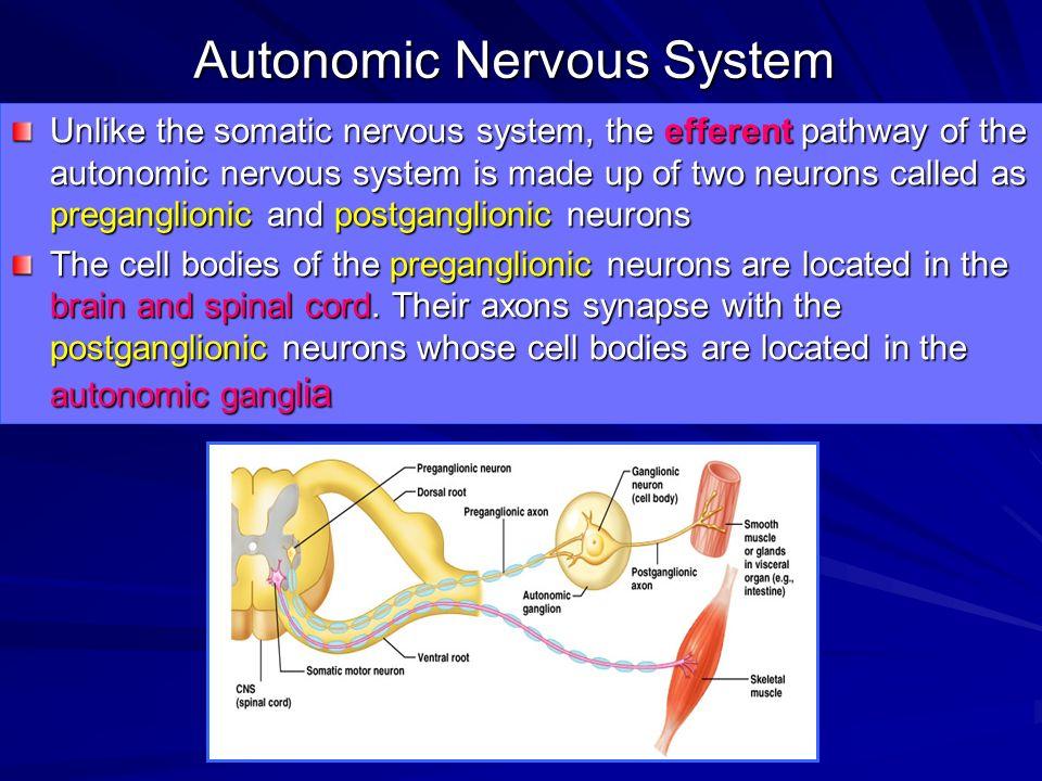 Autonomic Nervous System - ppt download  Autonomic