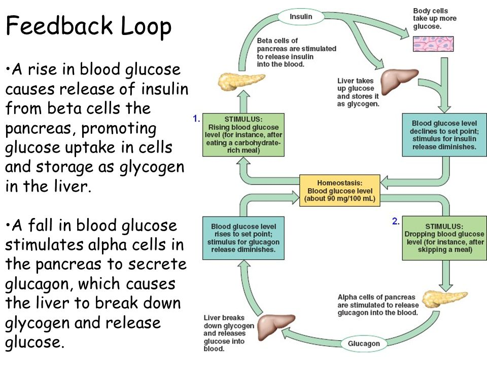 how insulin effects digestion Learn all about insulin, how it is manufactured in the pancreas and its role in the body.