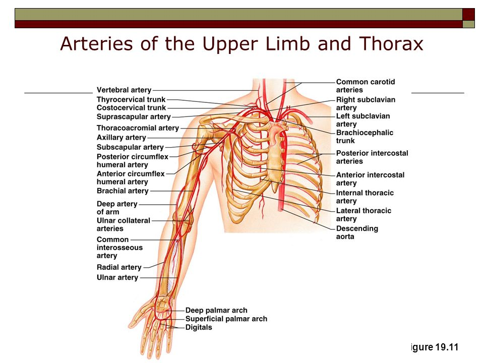 Similiar The Arteries Of Upper Limb And Thorax Keywords