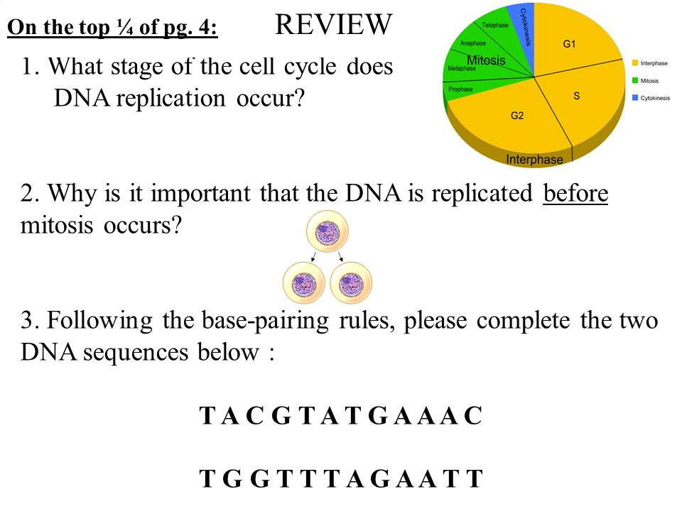 Cell cycle dna replication transcription and translation worksheet answers