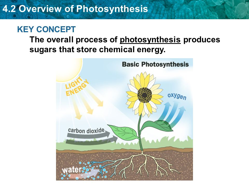 in the complete process of photosynthesis the Light and dark reactions in photosynthesis  photosynthesis is the process by which green  the point is that they do not require sunlight to complete their process.