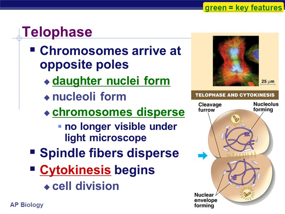 DNA, Mitosis, Cell Cycle Fun Fun Fun. - ppt video online download