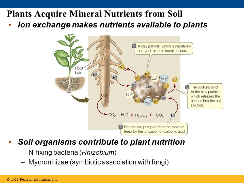 Chapter 25 transport of water and nutrients in plants for What are soil minerals