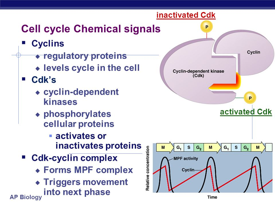 cyclins and cell cycle checkpoints pdf