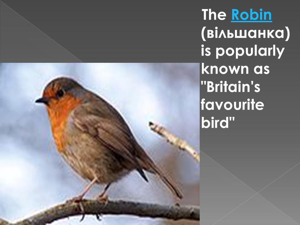 The Robin (вільшанка) is popularly known as Britain s favourite bird