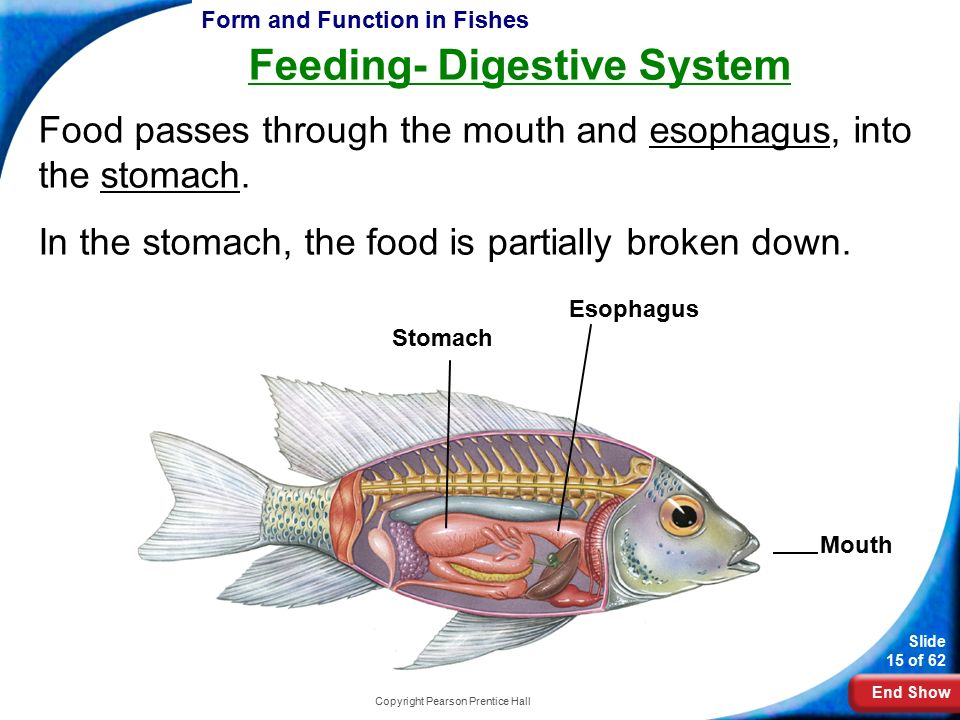 Digestive System Of A Frog Prentice Hall Copyright Pearson Pren...