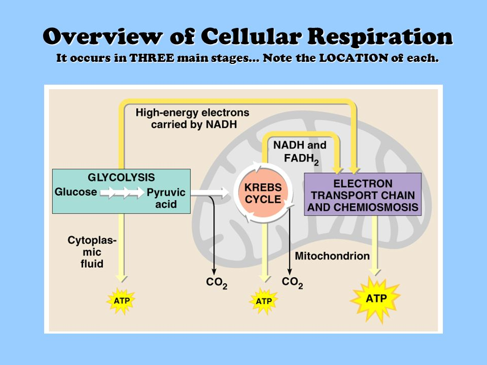 the two distinct phases of respiration Video: aerobic cellular respiration: stages, equation & products aerobic cellular respiration is the process in which our cells break down food and turn it into energy that cells need to.