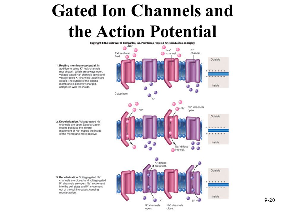 action potential and ion channels Nels generate the action potential, the electrical signal conveyed along the axon synaptic and receptor poten-  membrane potential is by resting ion channels.