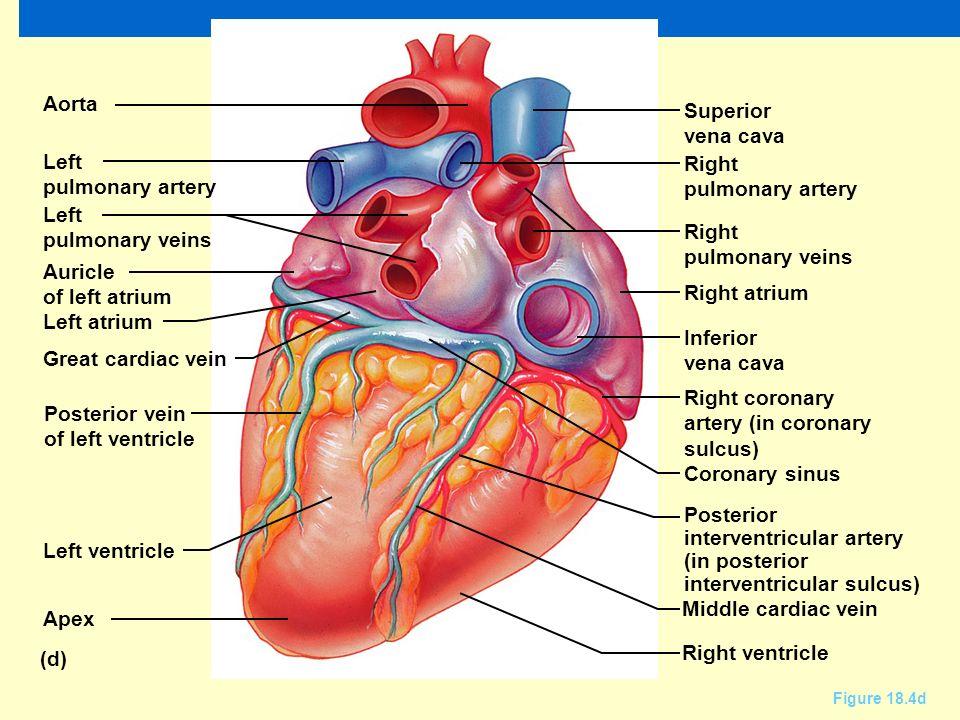 Posterior heart anatomy