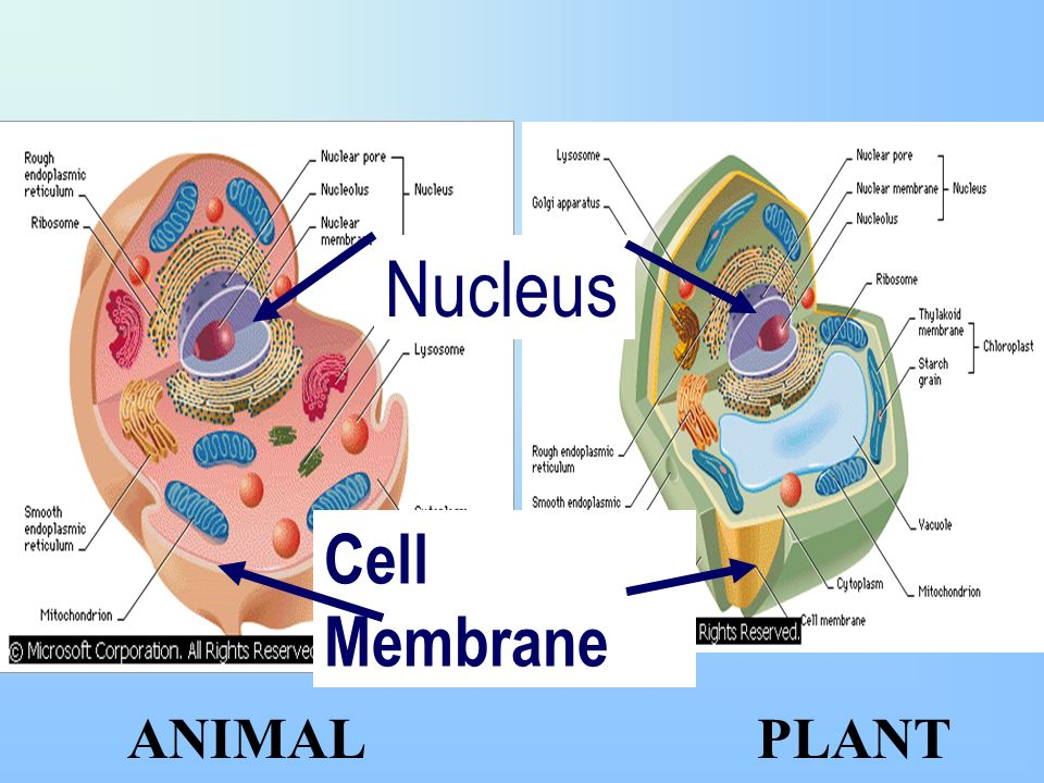 Vocabulary cell prokaryote eukaryote microscope theory ...