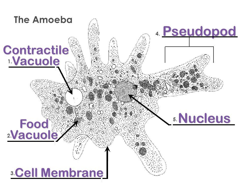 Paramecium cell membrane