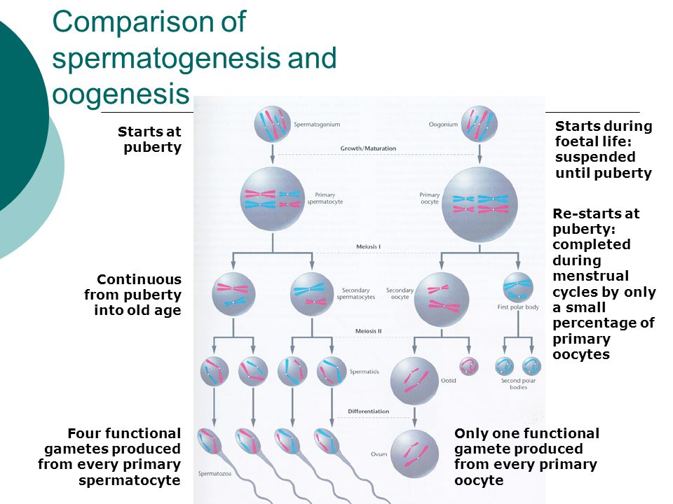 Oogenesis Slide DJH Human reproduction...
