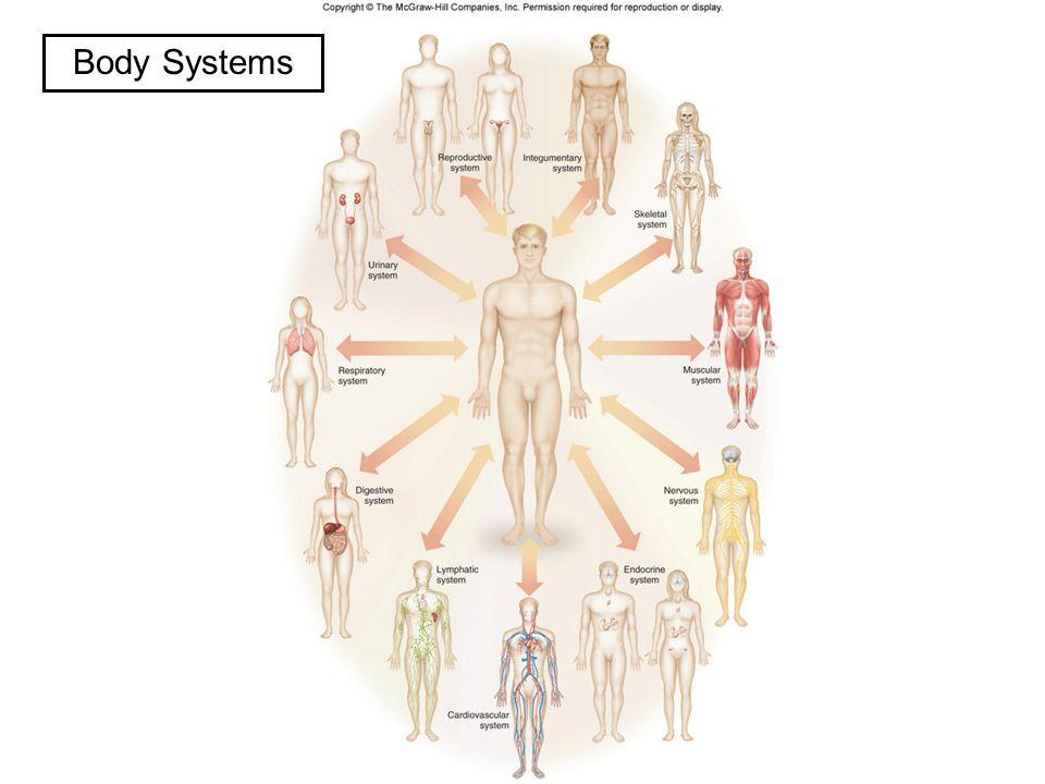 Ungewöhnlich Anatomy And Physiology Organ Systems Zeitgenössisch ...