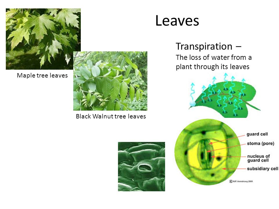 Chapter 23: Roots, Stems, and Leaves - ppt download