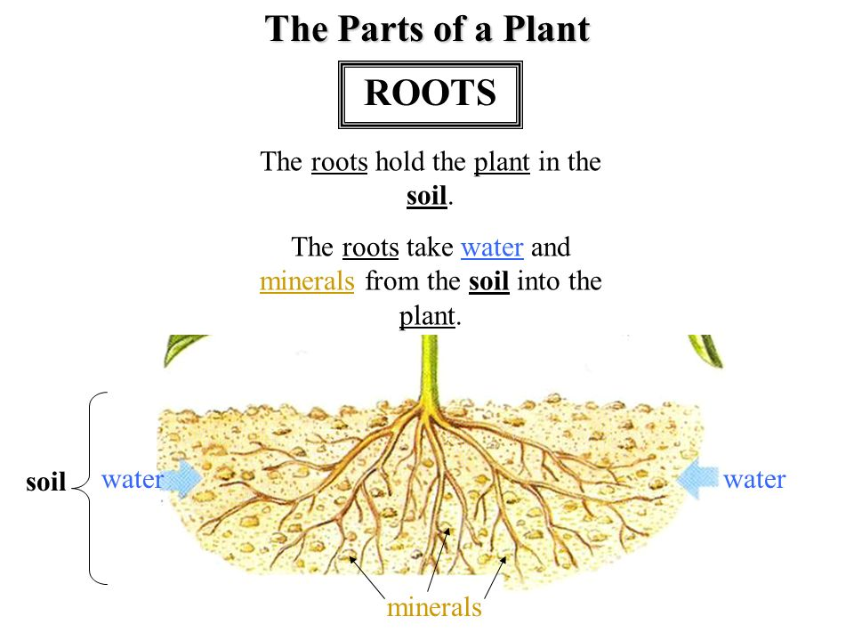 Plant leaves stem roots flower seeds secondary vocabulary for 4 parts of soil