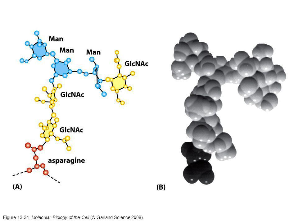 Figure 13-34 Molecular Biology of the Cell (© Garland Science 2008)