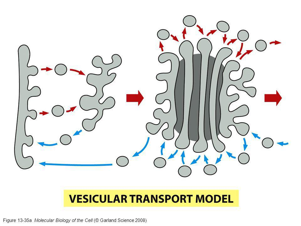 Figure 13-35a Molecular Biology of the Cell (© Garland Science 2008)