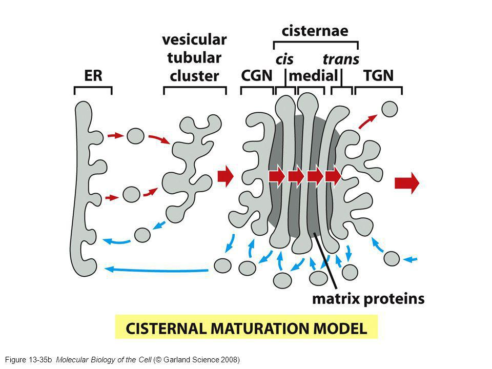 Figure 13-35b Molecular Biology of the Cell (© Garland Science 2008)