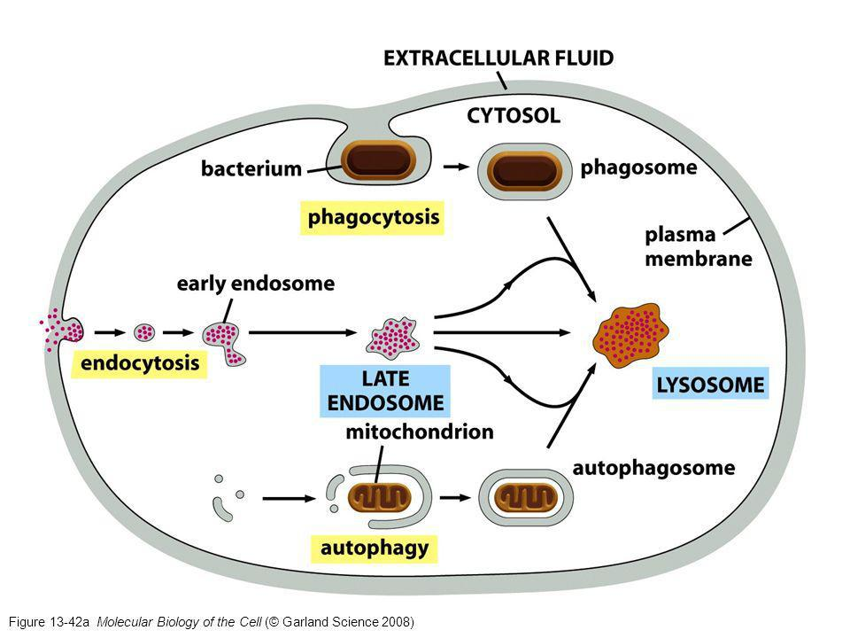 Figure 13-42a Molecular Biology of the Cell (© Garland Science 2008)