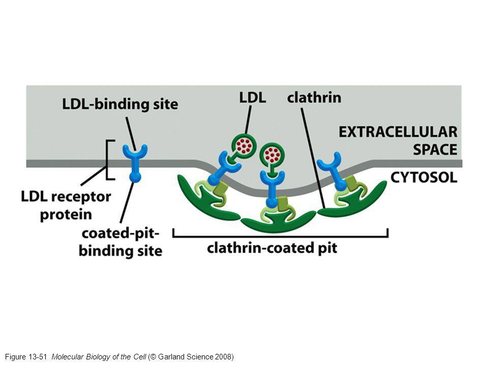 Figure 13-51 Molecular Biology of the Cell (© Garland Science 2008)