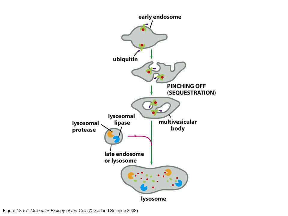 Figure 13-57 Molecular Biology of the Cell (© Garland Science 2008)