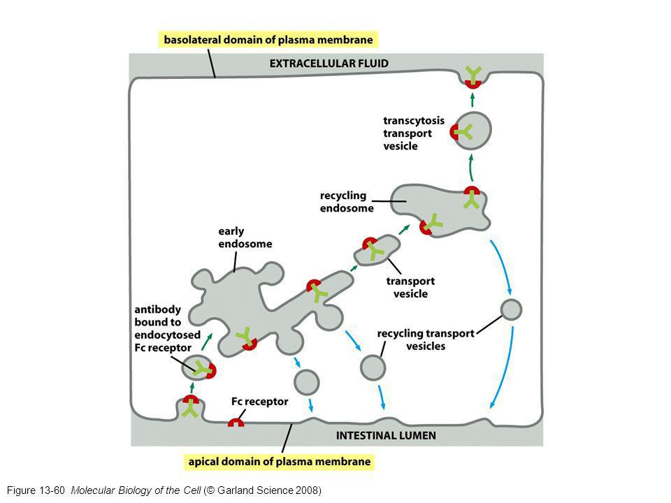 Figure 13-60 Molecular Biology of the Cell (© Garland Science 2008)