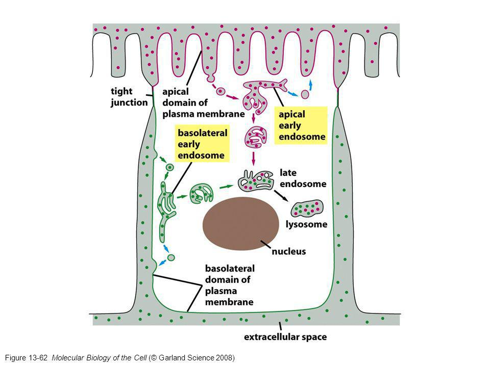 Figure 13-62 Molecular Biology of the Cell (© Garland Science 2008)