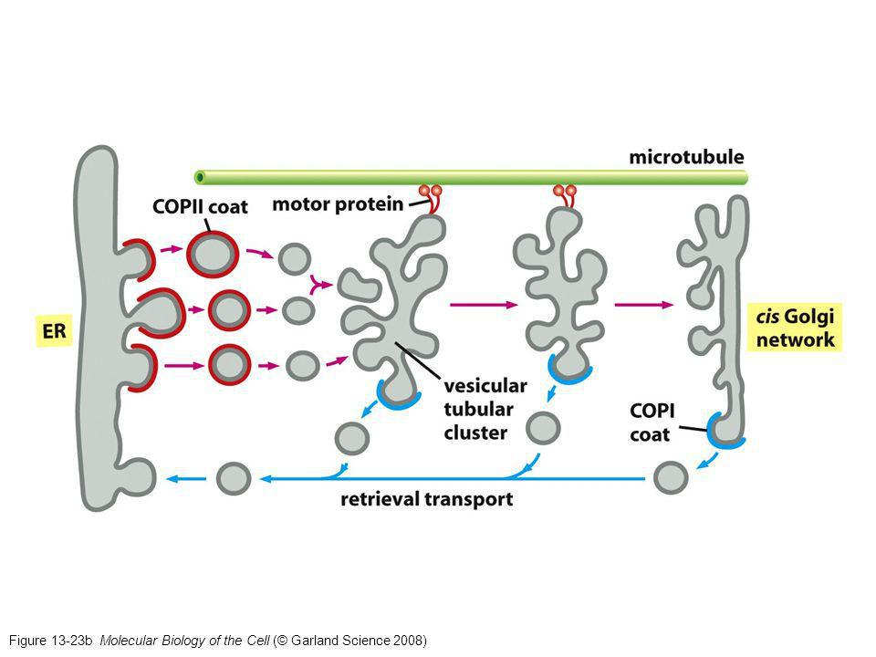 Figure 13-23b Molecular Biology of the Cell (© Garland Science 2008)
