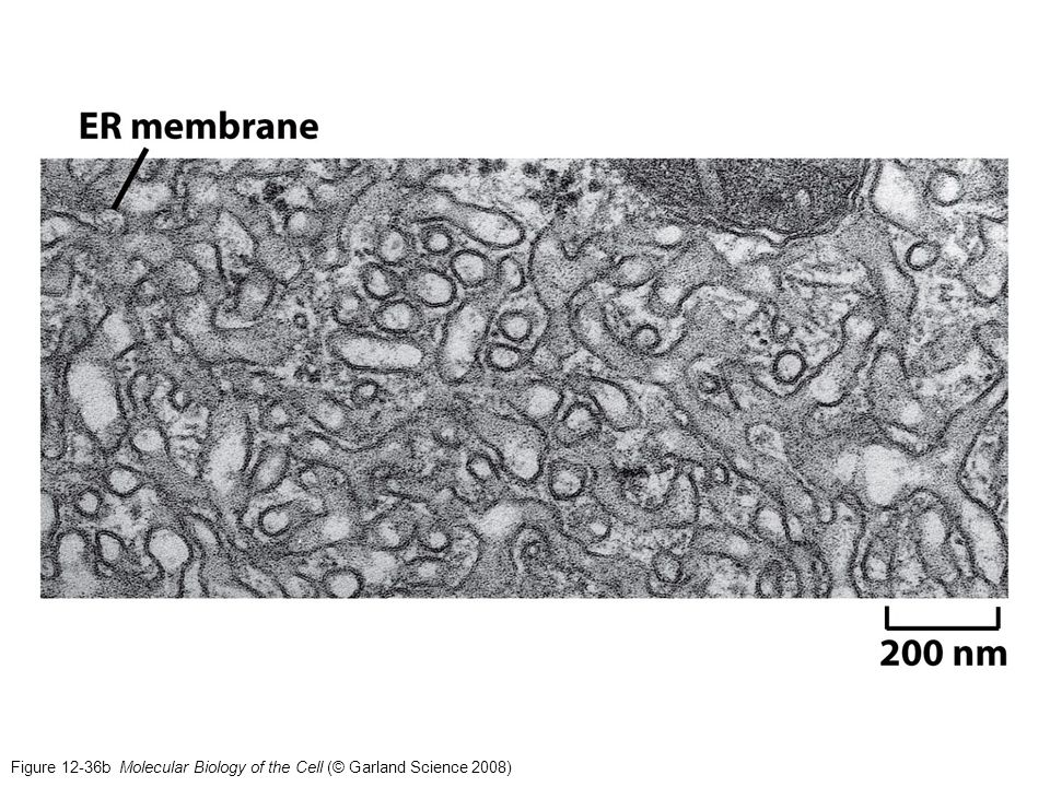 Figure 12-36b Molecular Biology of the Cell (© Garland Science 2008)
