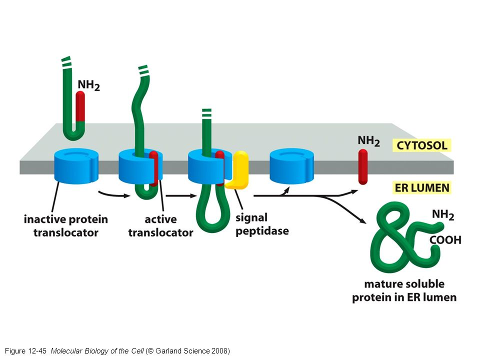 Figure 12-45 Molecular Biology of the Cell (© Garland Science 2008)