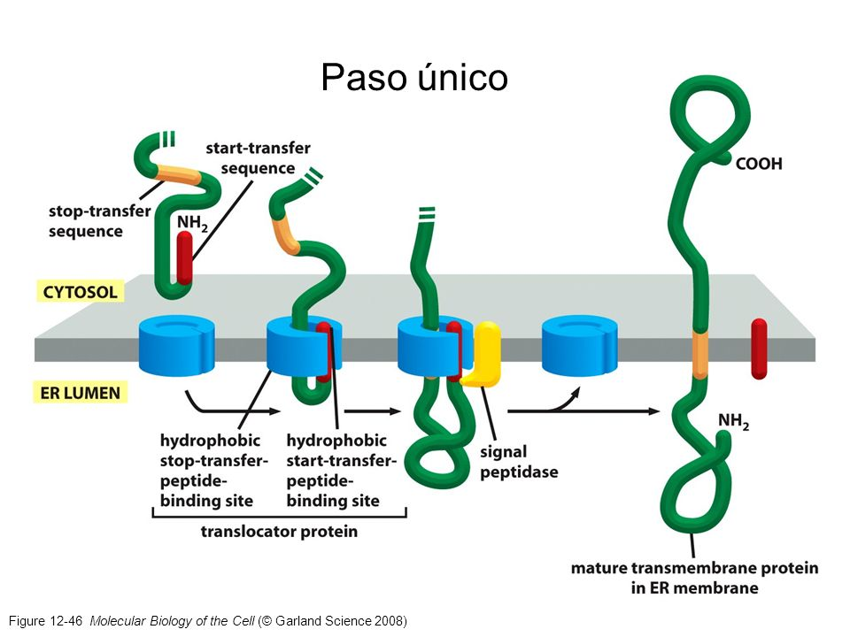 Paso único Figure 12-46 Molecular Biology of the Cell (© Garland Science 2008)